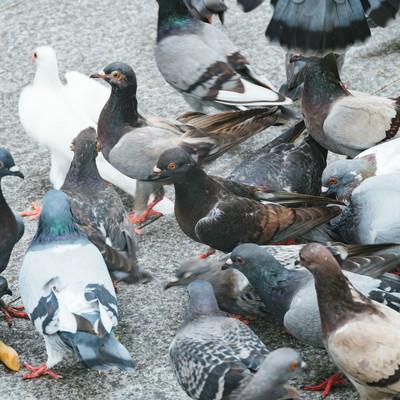 餌を期待する鳩の集団の写真
