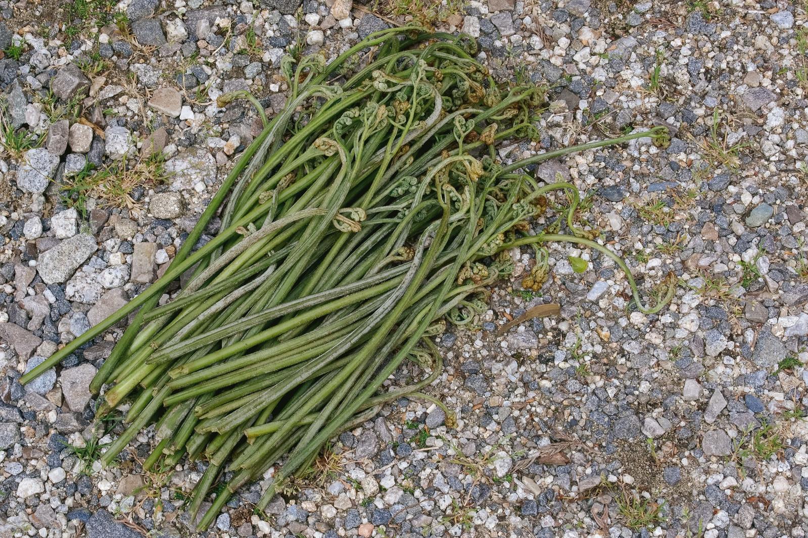 「ワラビを採ったよ(山菜)」の写真