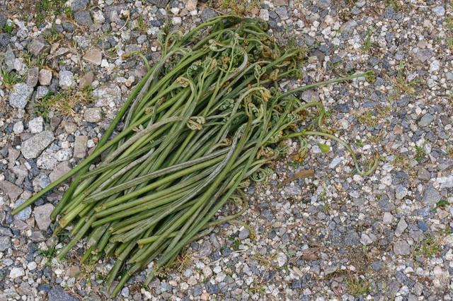 ワラビを採ったよ(山菜)の写真