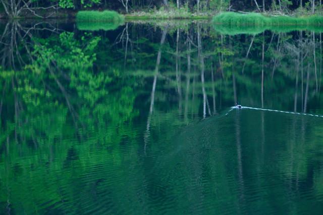 水鏡の池を鴨がスイーの写真
