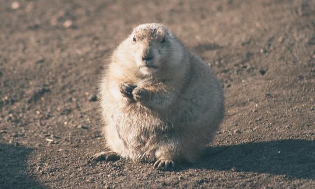 まんまる肥えたプレーリードッグの写真
