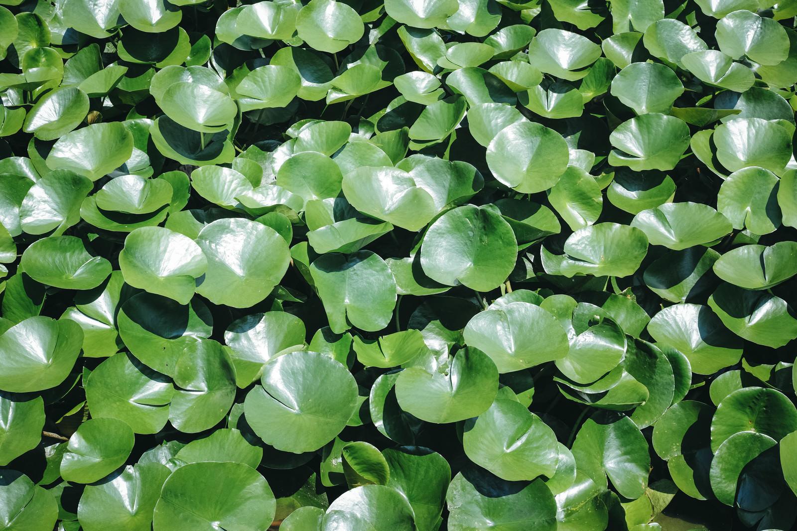 「艶のある葉っぱ」の写真
