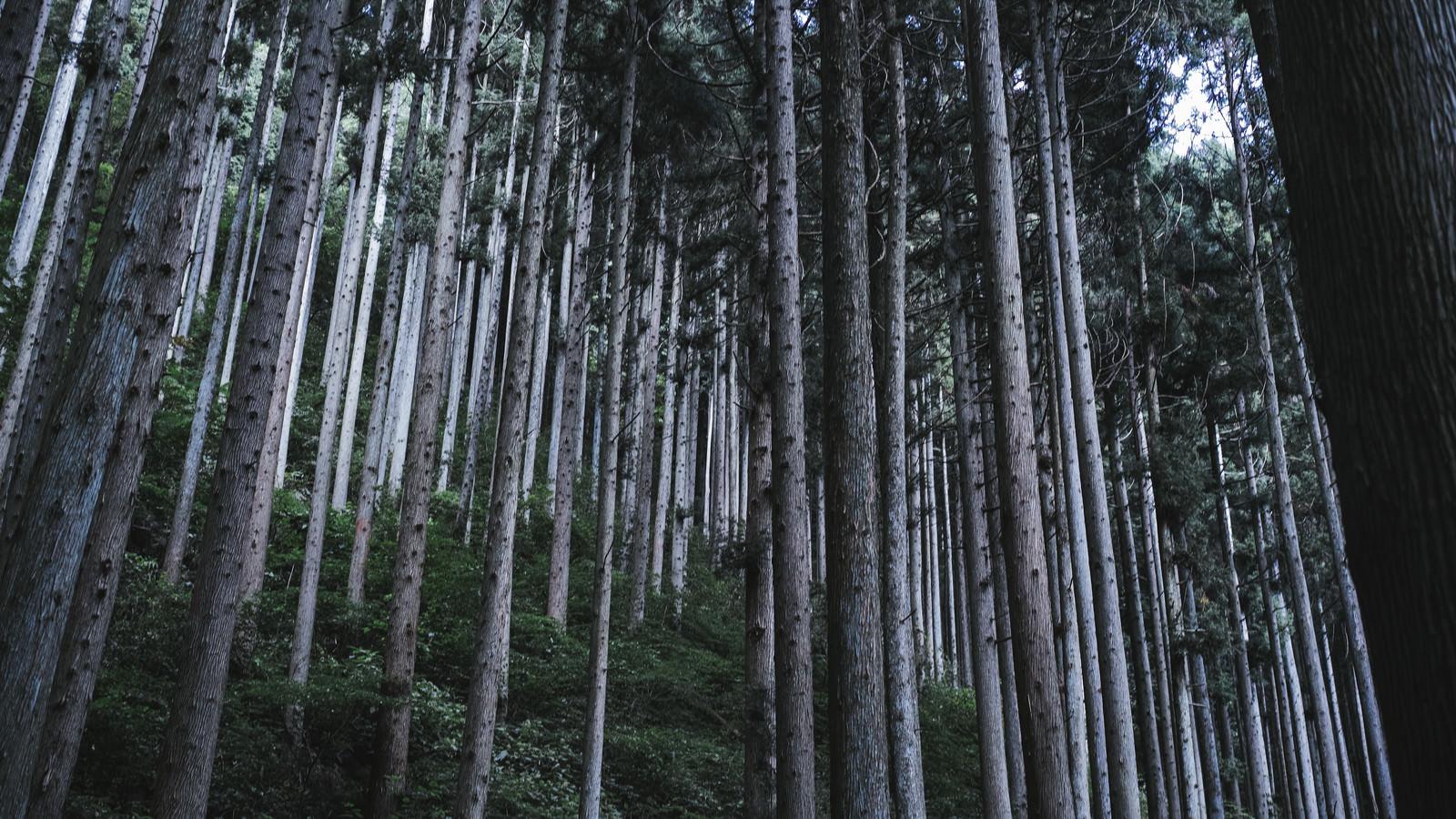 「枝打ちされた杉の森」の写真