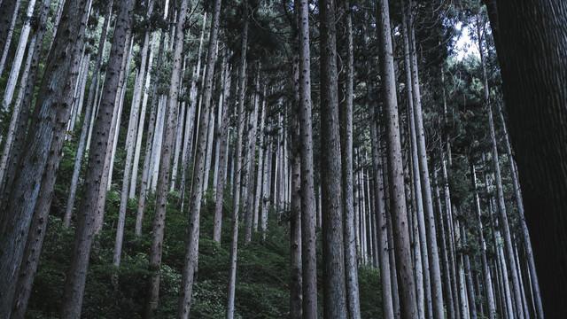 枝打ちされた杉の森の写真