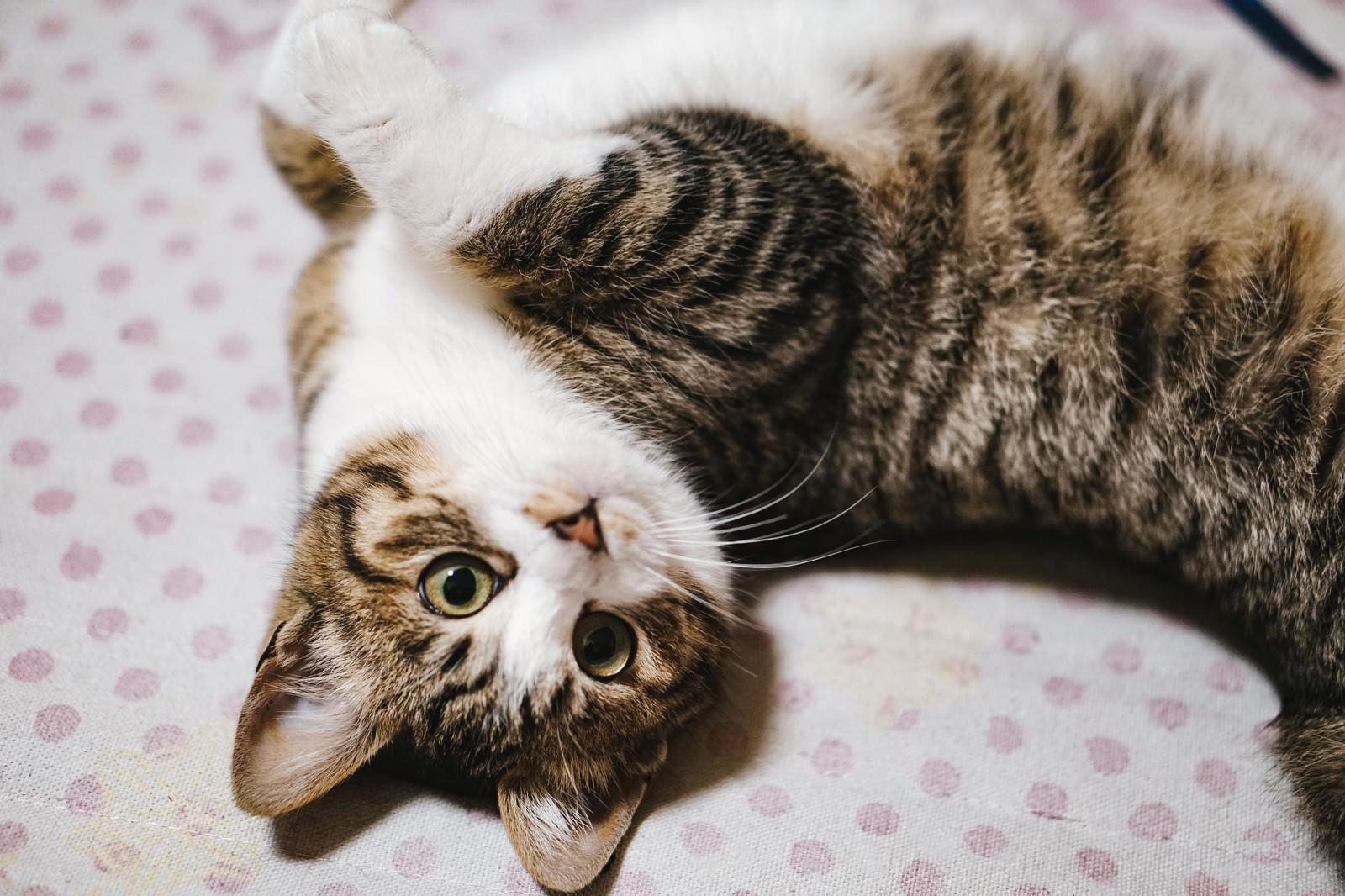 「許してニャンポーズをとるキジ白猫」の写真