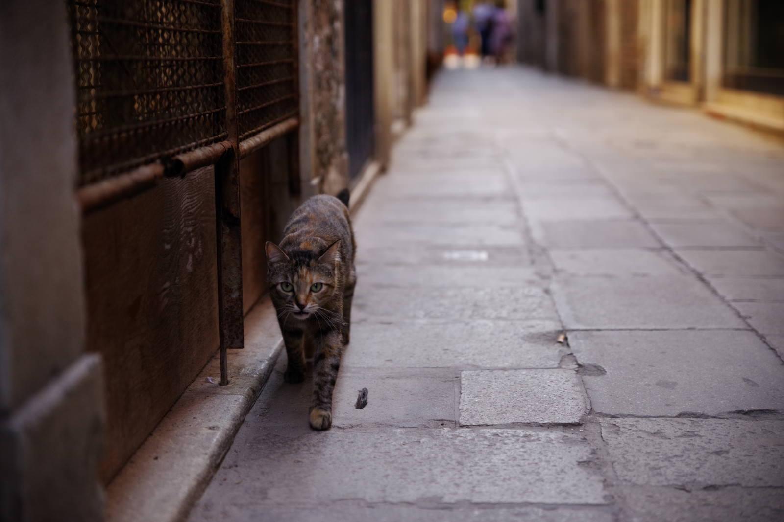 「ムラーノ島の路地を歩く猫(イタリア)」の写真