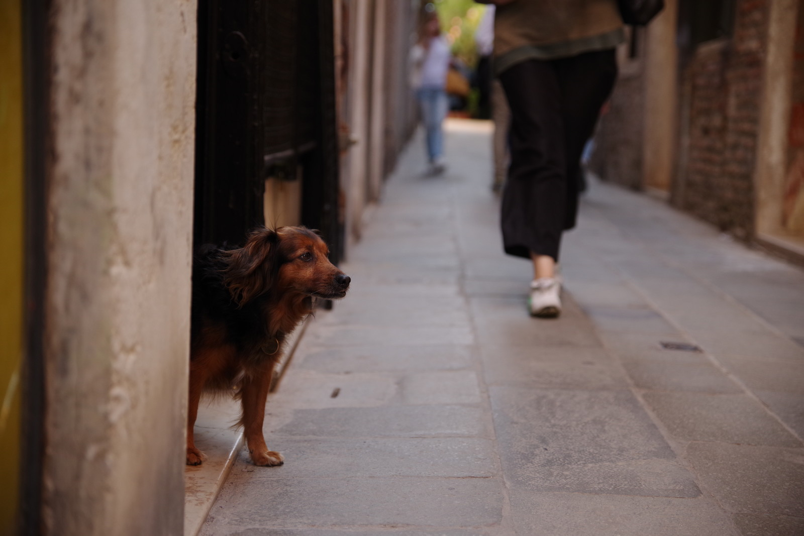 「ベネツィアのムラーノ島の路地で茶色い犬と出会う(イタリア)」の写真