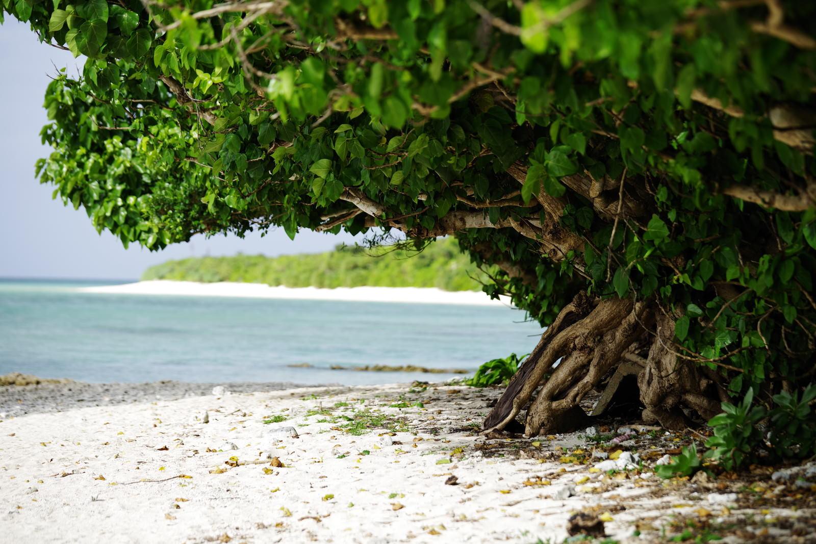 「南国の白い砂浜とガジュマルの木」の写真
