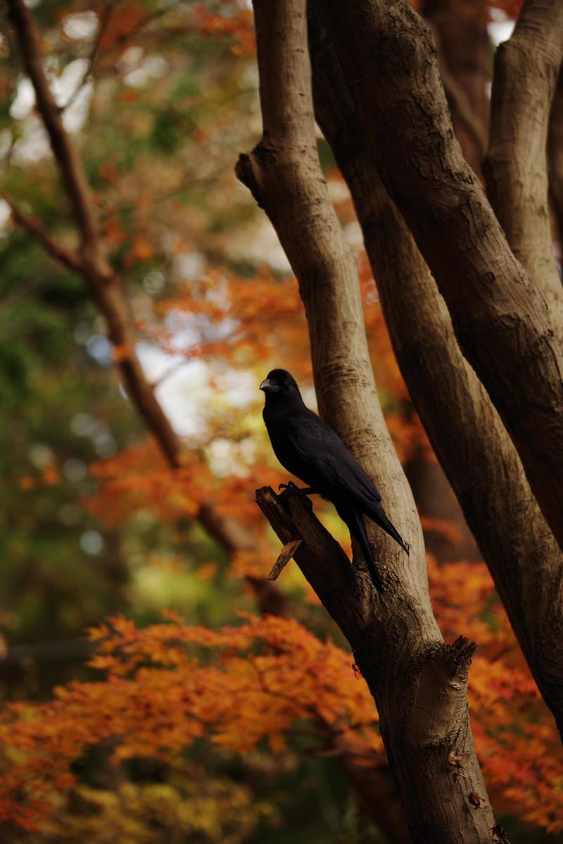 「紅葉した木に止まるカラス」の写真