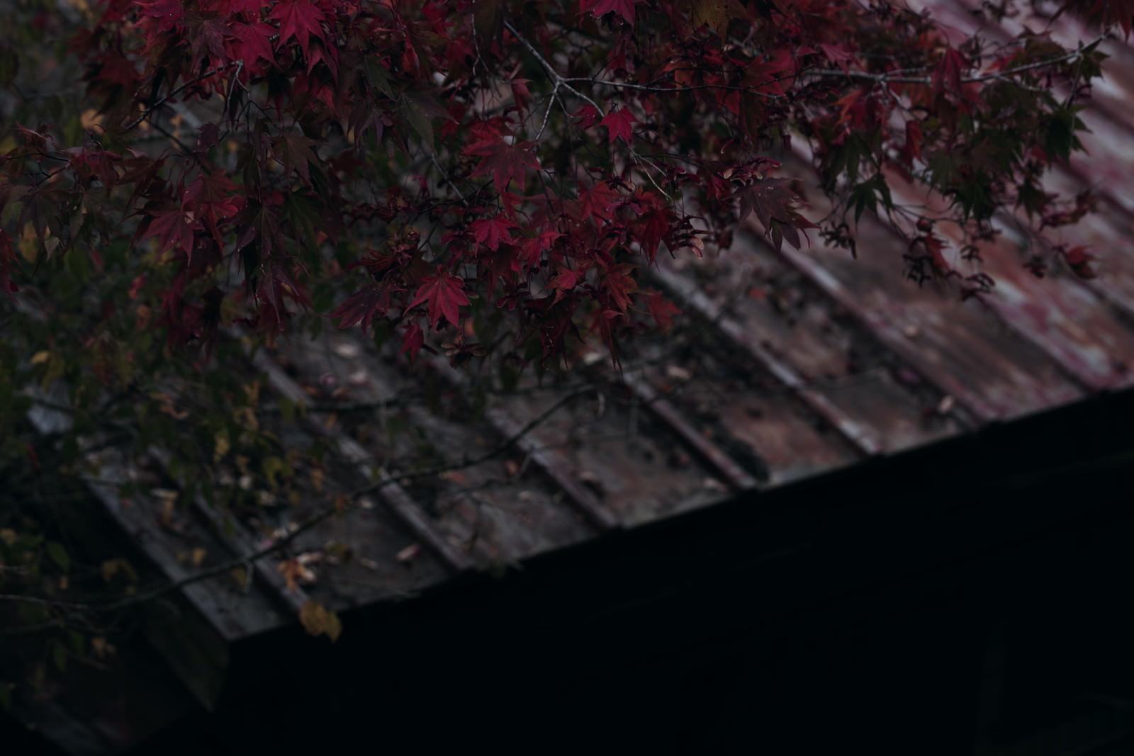 「紅葉と荒れたトタン屋根」の写真