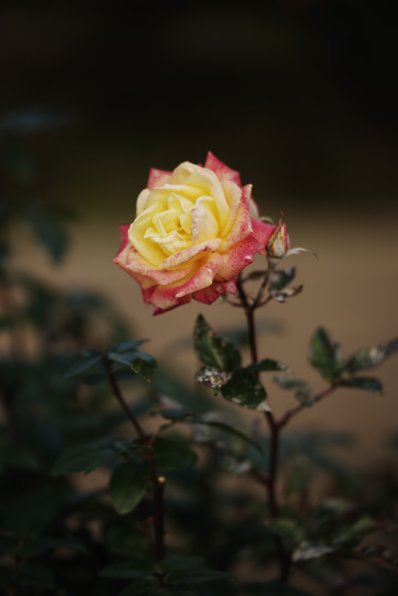 「黄色とピンク色の少し傷んだ薔薇」の写真