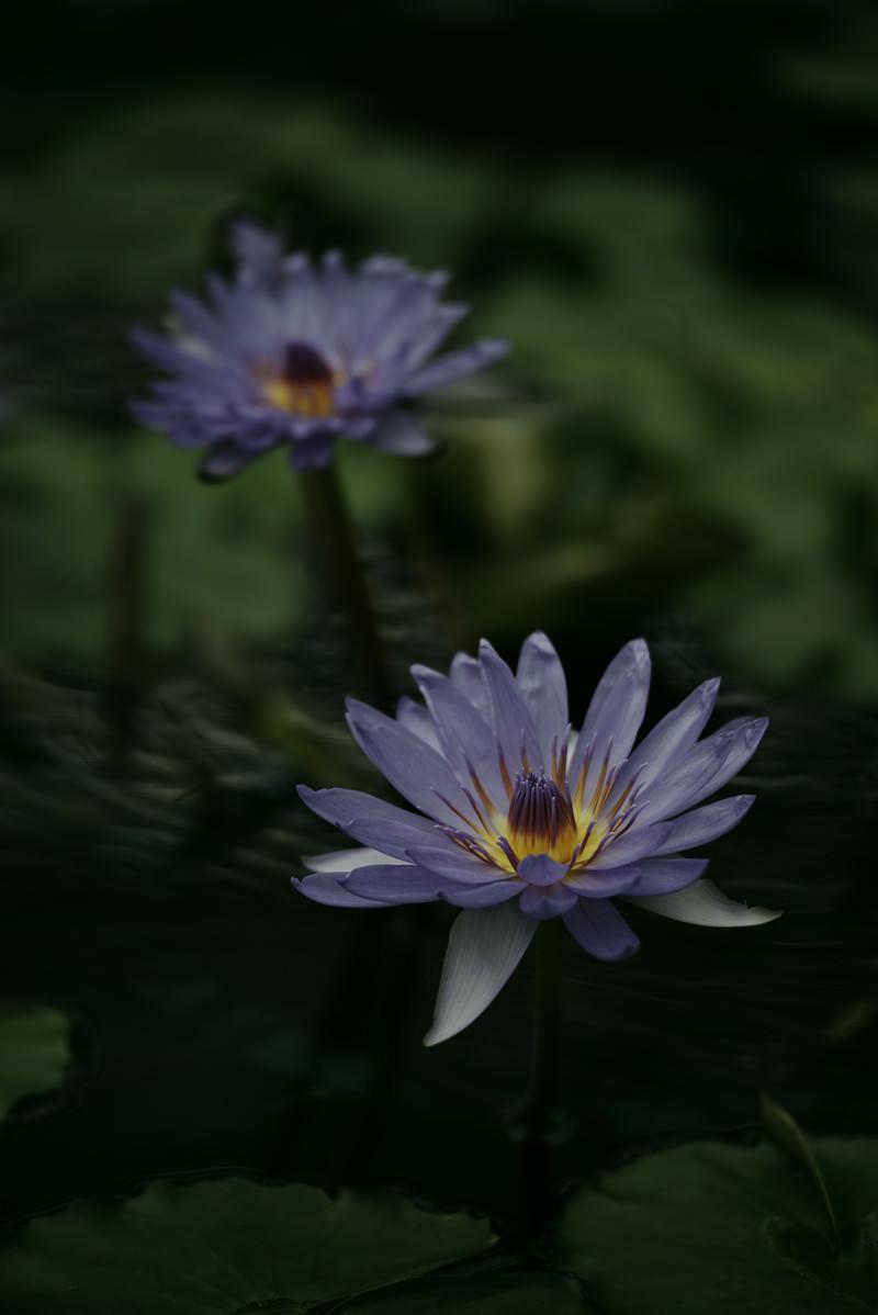 「並んで咲く紫色の睡蓮」の写真