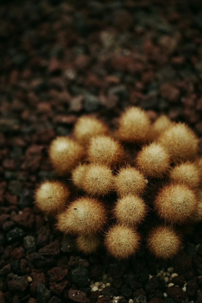 「小ぶりなタマタマが集まったサボテン」の写真