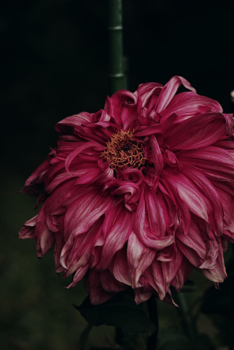 「朽ちたダリアの花」の写真