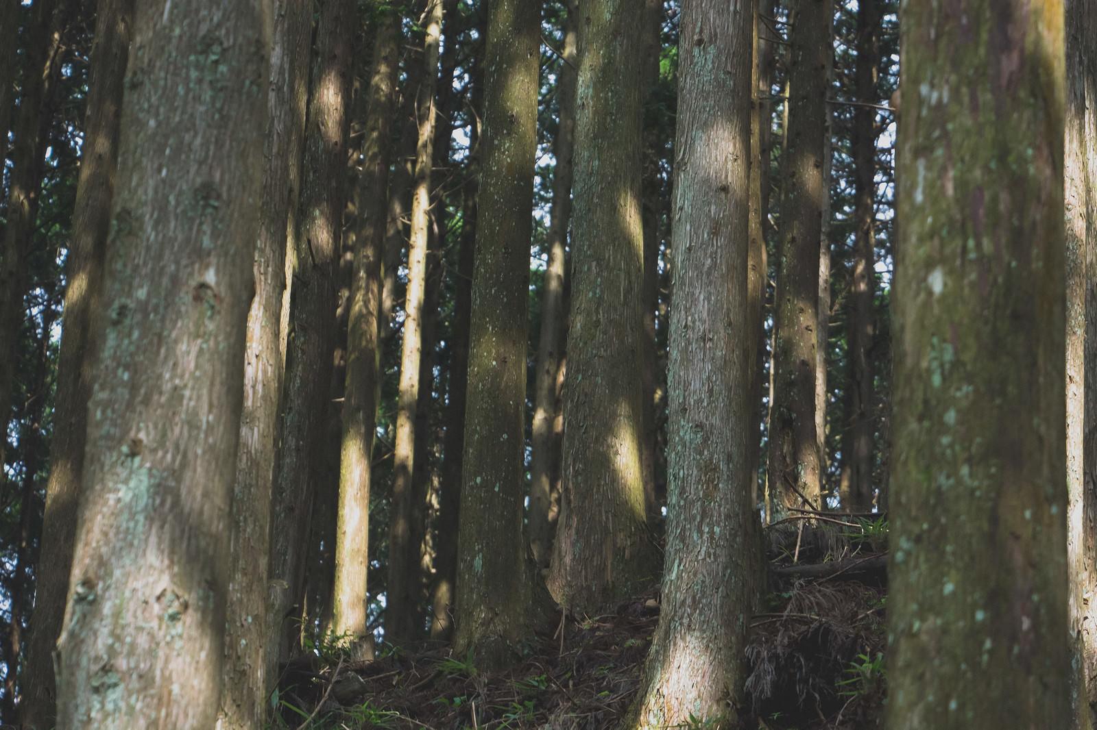 「スギ林スギ林」のフリー写真素材を拡大