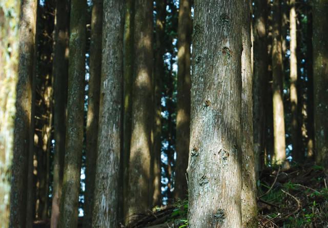 植林された杉の木の写真