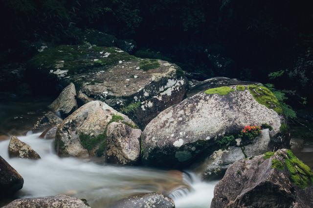 岩に咲く 小戸名渓谷の岩つつじの写真