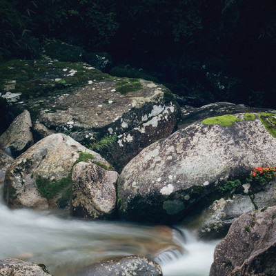 「岩に咲く 小戸名渓谷の岩つつじ」の写真素材