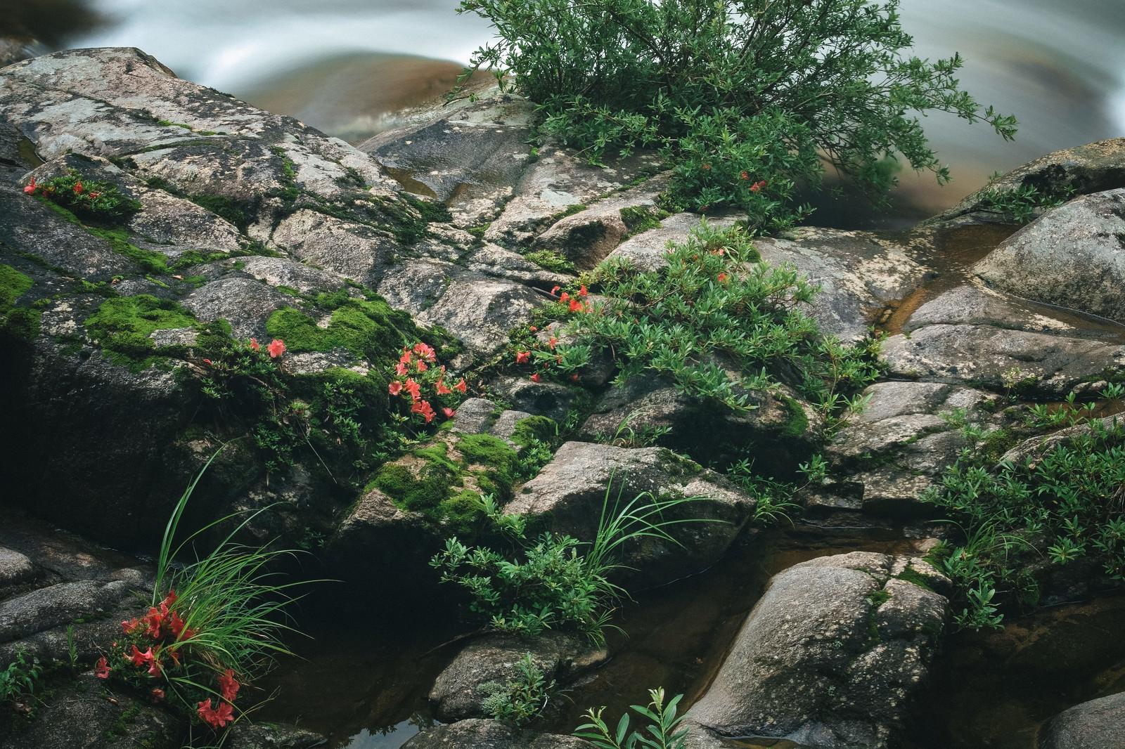 「小戸名渓谷に咲く岩つつじ」の写真