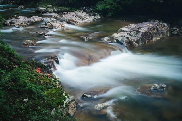 渓流を眺める岩つつじの花の写真