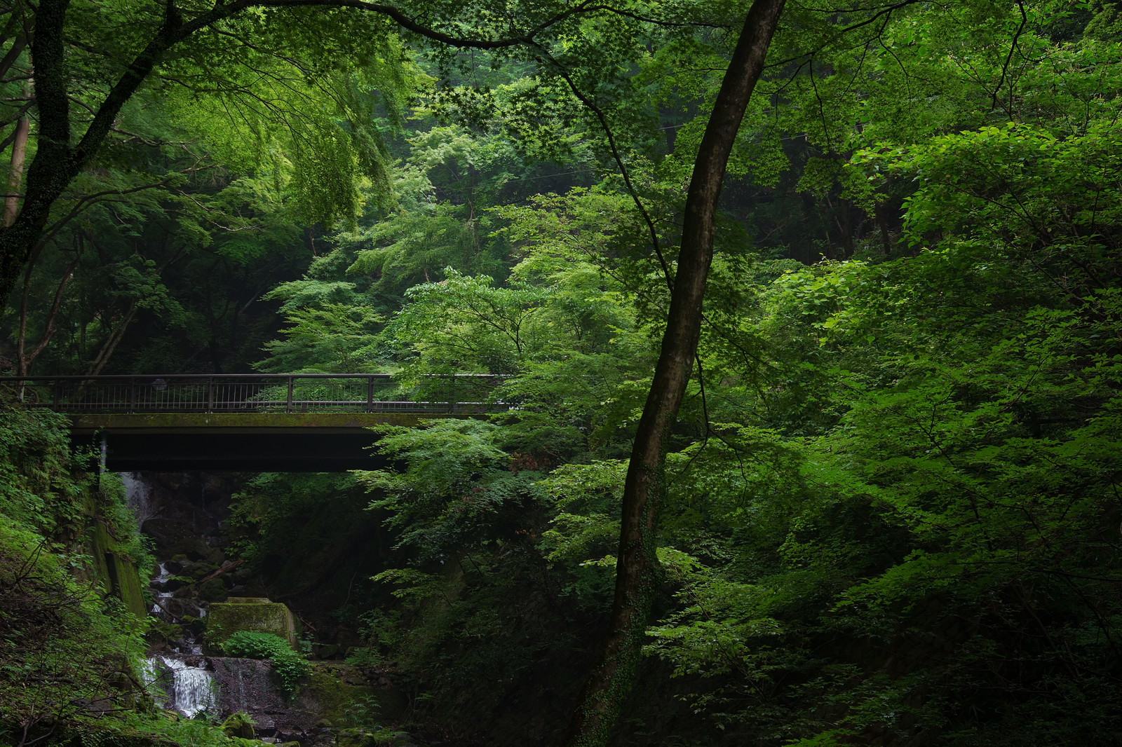 「新緑の中に浮かぶ苔むした橋」の写真
