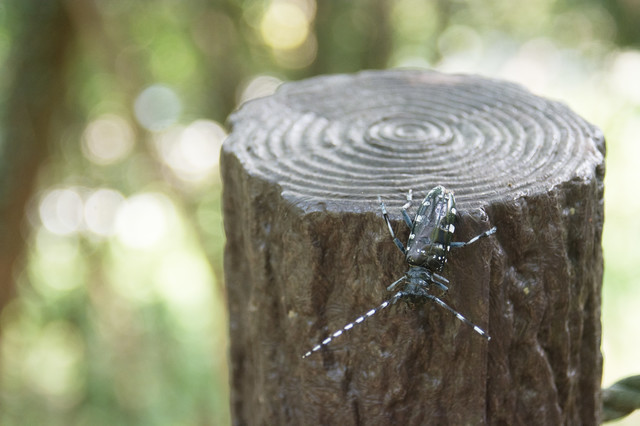 丸太につかまる大きめのカミキリムシの写真