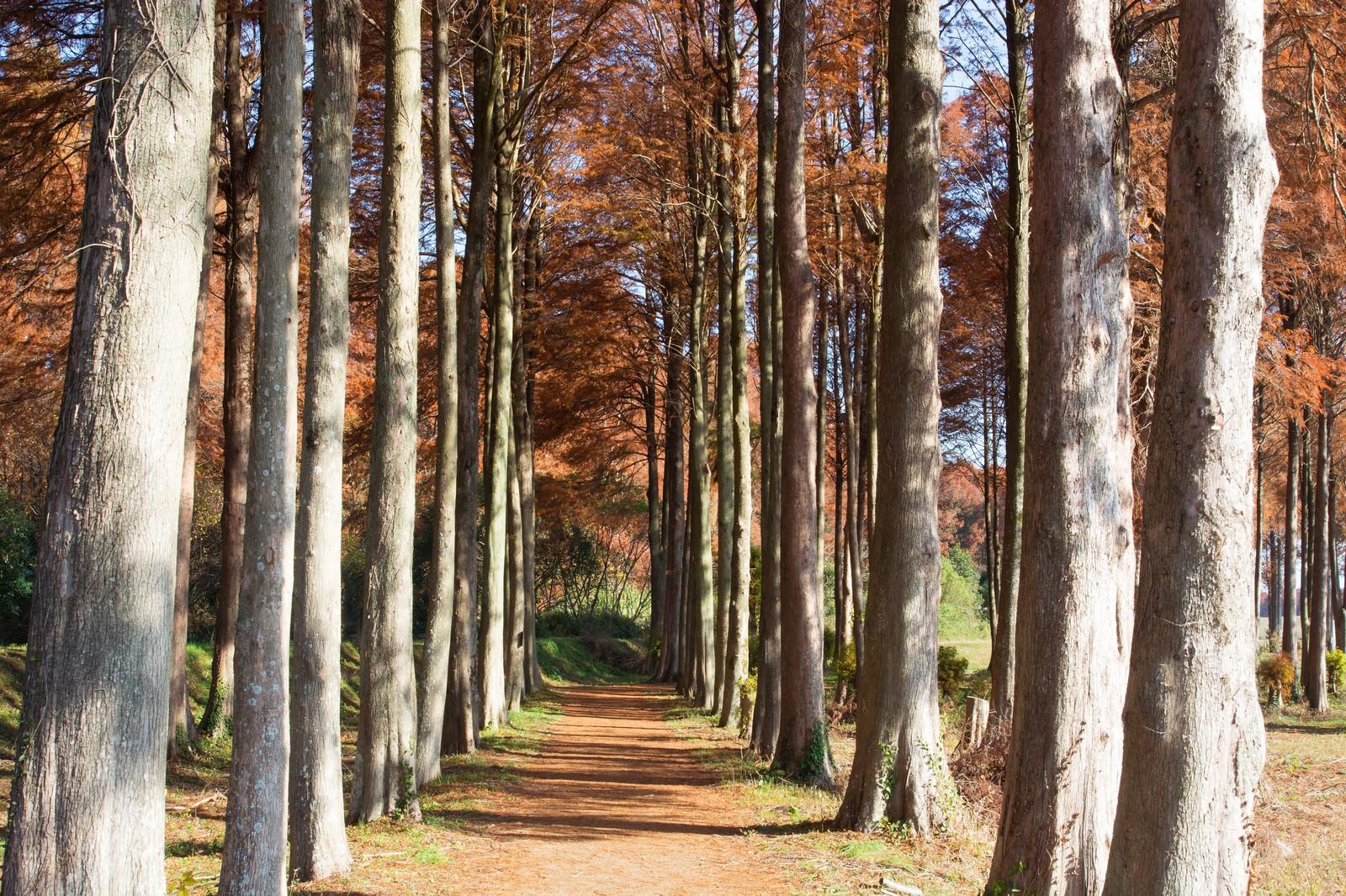 「メタセコイアとラクウショウの落葉の小道」の写真