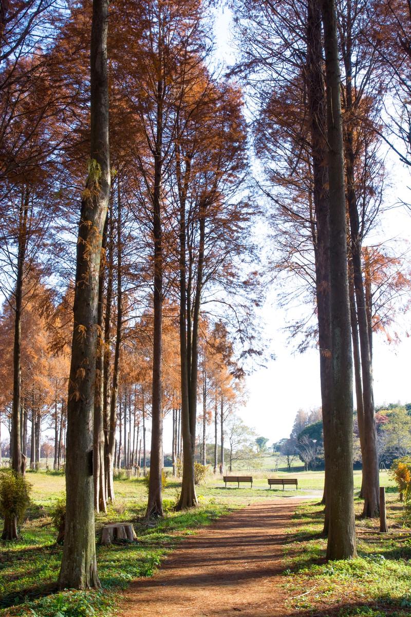 「メタセコイアの並木の先にあるベンチ」の写真