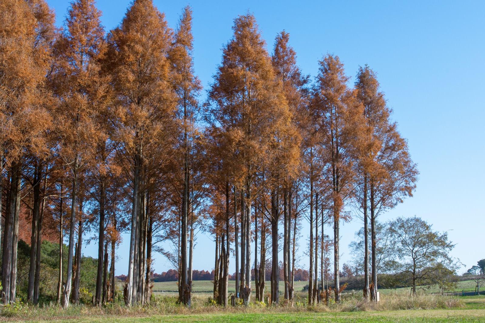 「色付いたメタセコイアの並木」の写真
