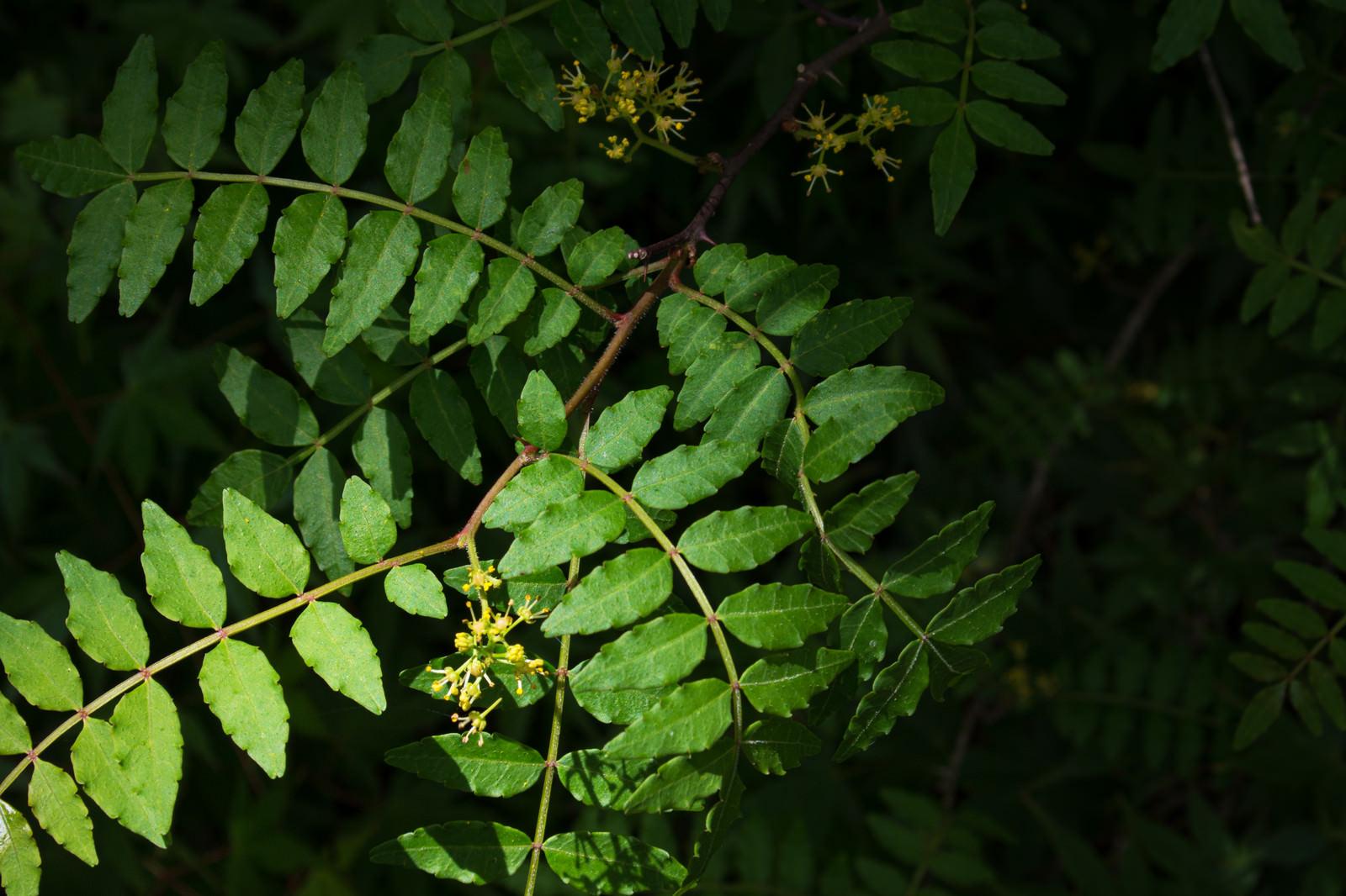 「暗闇に映える山椒の花」の写真