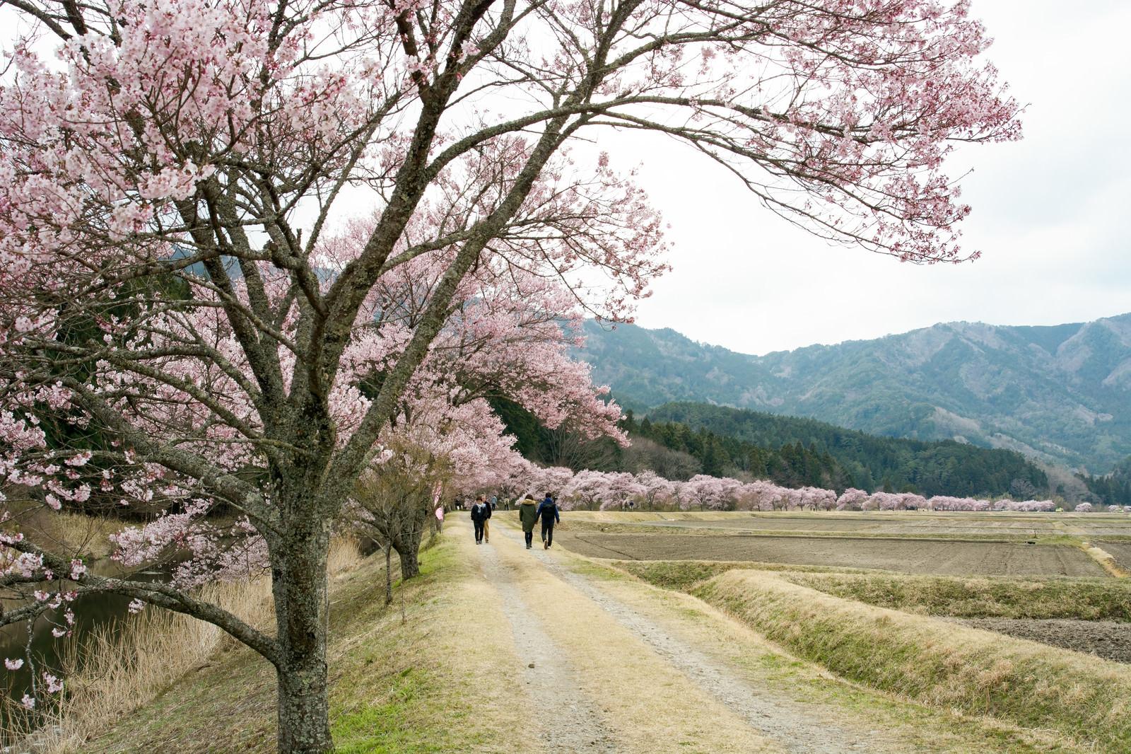 「満開の桜並木を楽しむ人々(名倉のコヒガンザクラ並木)」の写真