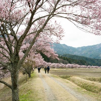 満開の桜並木を楽しむ人々(名倉のコヒガンザクラ並木)の写真
