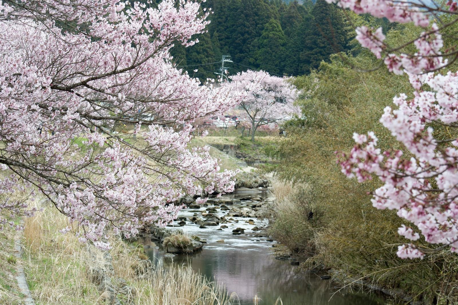 「名倉川にほんのり映るコヒガンザクラ」の写真