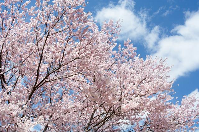 青空と咲き誇る満開のコヒガンザクラの写真