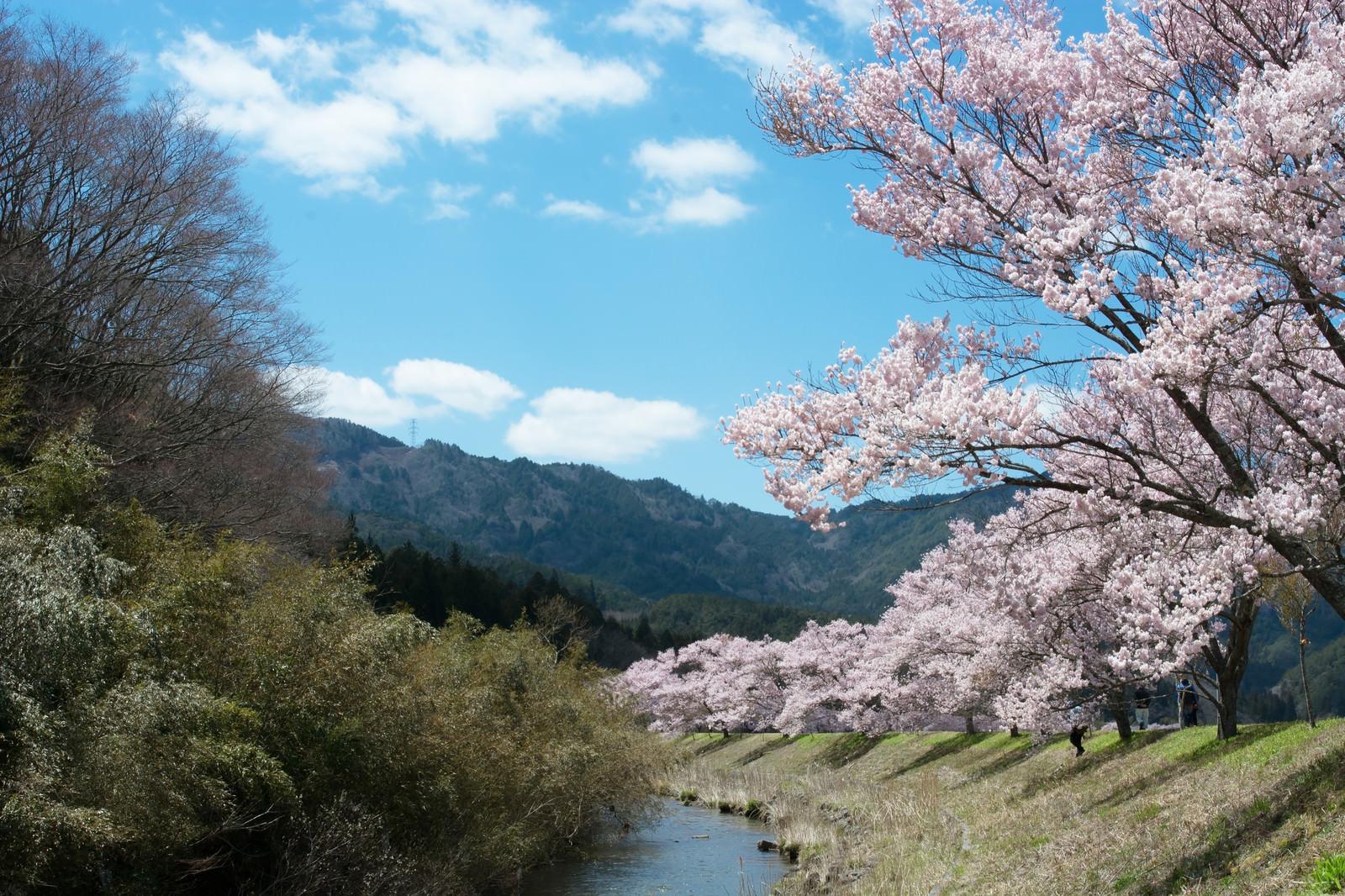「名倉川沿いを続くコヒガン桜並木」の写真