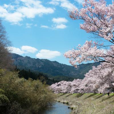 名倉川沿いを続くコヒガン桜並木の写真