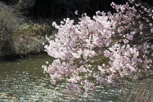 揺れる桜と波立つ川面の写真
