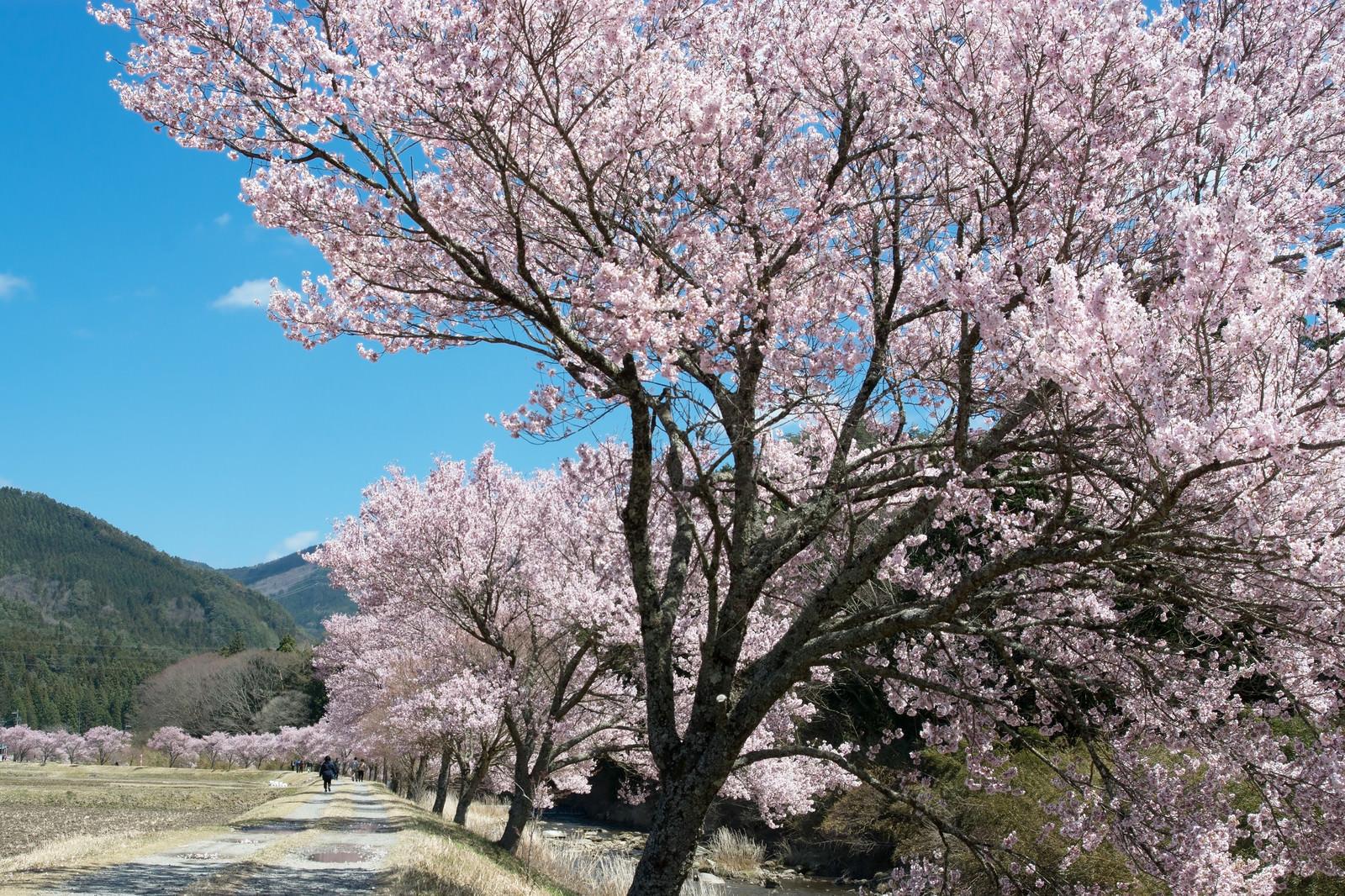 「名倉川沿いの満開のコヒガン桜並木」の写真