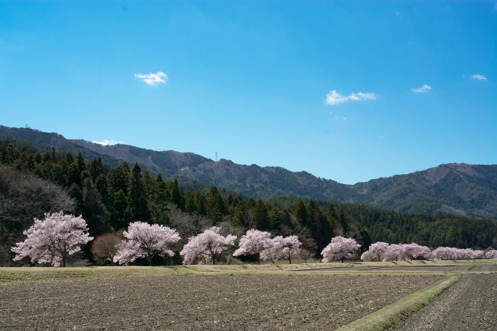 「田んぼ沿いを照らす満開の桜(名倉のコヒガンザクラ並木)」の写真