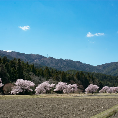 田んぼ沿いを照らす満開の桜(名倉のコヒガンザクラ並木)の写真