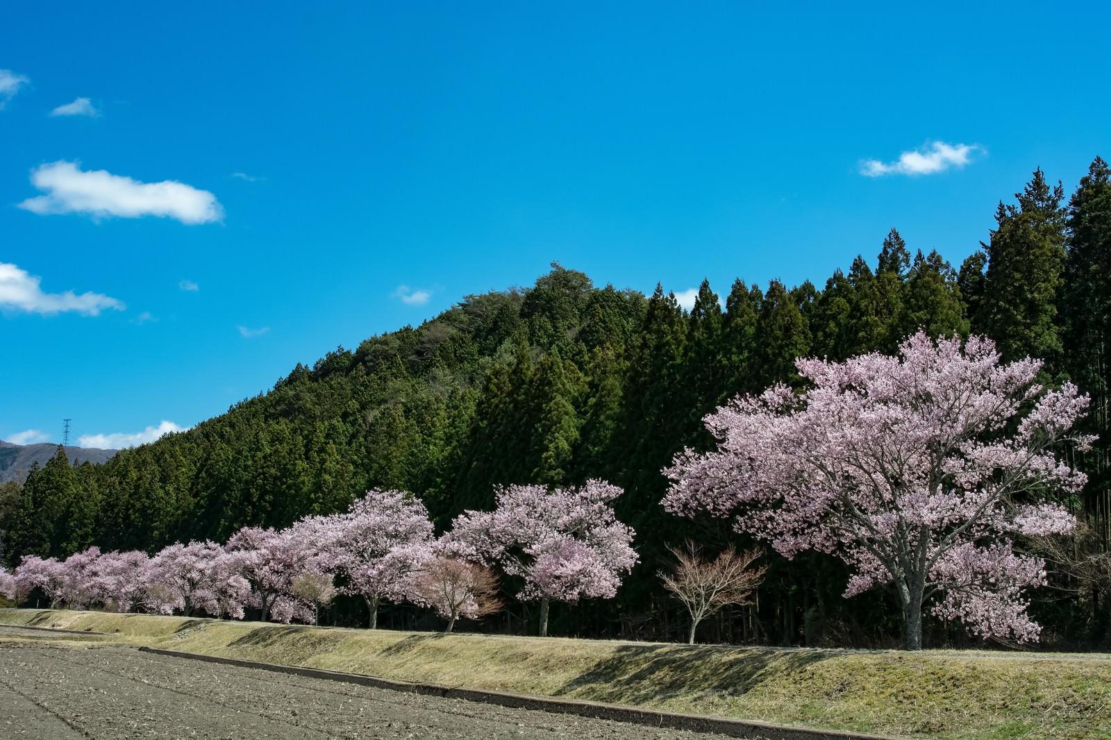 「青空に映える満開の桜並木」の写真