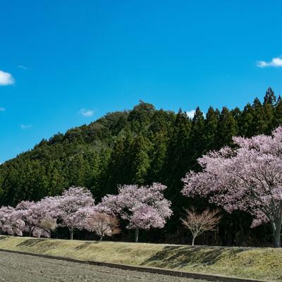 青空に映える満開の桜並木の写真