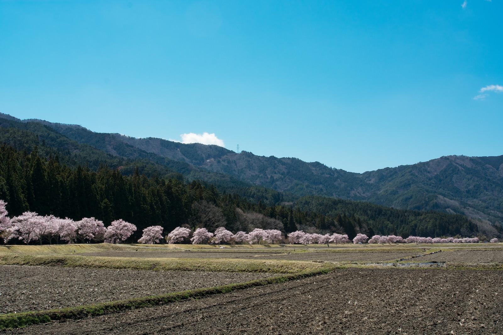 「耕された田んぼと共に続くコヒガンザクラ並木」の写真