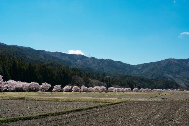耕された田んぼと共に続くコヒガンザクラ並木の写真