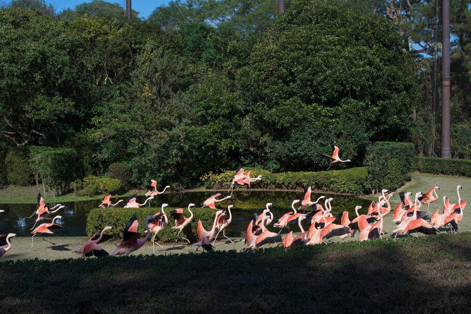「フラミンゴの群れ(フェニックス自然動物園)」の写真