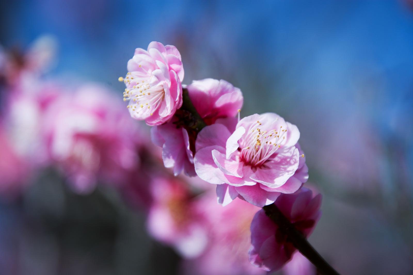 「日差しを浴びてほころぶ八重の紅梅(蘇原自然公園)」の写真