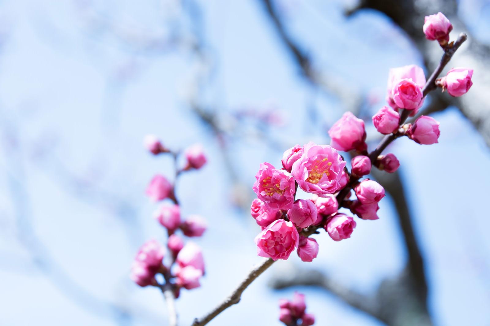 「満開にはまだまだな紅梅の枝(蘇原自然公園)」の写真