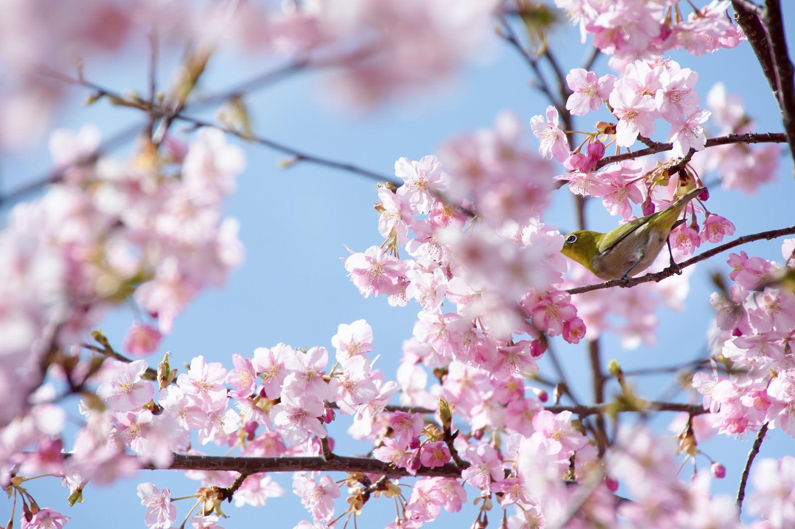 「桜の花の蜜を吸うメジロ(蘇原自然公園)」の写真