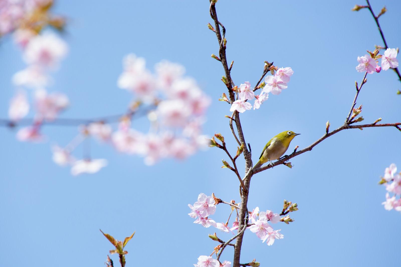 「枝にとまって何かを眺めているメジロ(蘇原自然公園)」の写真
