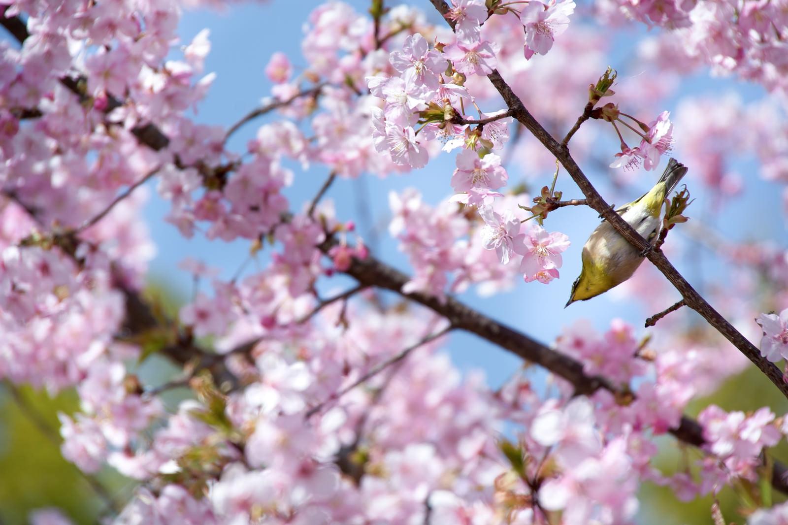 「桜の枝とメジロ(蘇原自然公園)」の写真